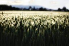 Tallos del trigo en campo de maíz fotos de archivo