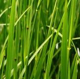 Tallos del verde de Fressh Fotos de archivo