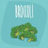 Tallos maduros aislados del bróculi de las verduras ilustración del vector