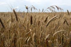 Tallos maduros del trigo Fotografía de archivo libre de regalías