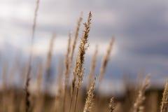 Tallos secos de la hierba del otoño contra el cielo Foto de archivo libre de regalías