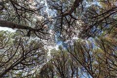 Tallskogskog, Cecina, Tuscany, Italien arkivfoton