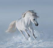 Étalon blanc de race courant sur la neige Photographie stock libre de droits