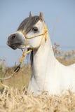 Étalon blanc magnifique de poney de montagne de gallois Image libre de droits