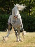 Étalon de cheval de trait de Shire Images libres de droits