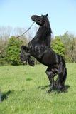 Étalon noir magnifique caracolant Photo stock