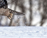 Talons. Close up image of raptor talons with snow spray royalty free stock photography