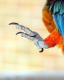 Talons av en papegoja Arkivbild