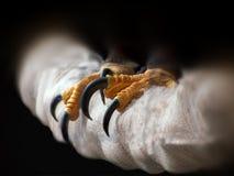 Talons da águia Fotografia de Stock Royalty Free