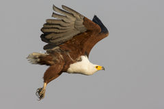 Talons deployed. An African fish eagle deploys talons to grab a fish in the Choebe river stock image