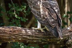 The talons and feathers of a Martial Eagle. A closeup of the talons and feathers of a Martial Eage, Africa`s largest eagle stock photography