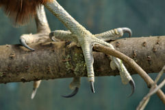 NZ Falcon talons Stock Images