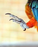 Talons of a parrot. Detailed closeup image of a parrots talons stock photography