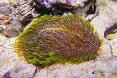 Talpina de Polyphyllia, corail de langue, corail de pantoufle Images stock