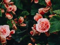 Talrijke heldere bloemen van knolachtige begonia's stock afbeelding