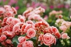 Talrijke heldere bloemen van knolachtige begonia's Royalty-vrije Stock Afbeelding