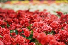 Talrijke heldere bloemen van knolachtige begonia's Royalty-vrije Stock Foto's