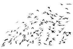 Talrijke troep van het zwarte vogels vliegen geïsoleerd op witte backg royalty-vrije stock foto's
