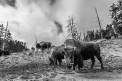 Talrik amerikansk bison/buffel i Yellowstone nationalpark w Arkivbilder