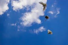 Talrika avel av duvor gjorde häpen med deras fromhet Royaltyfri Fotografi