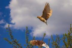 Talrika avel av duvor gjorde häpen med deras fromhet Royaltyfria Foton