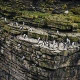 Talrika gemensamma sillgrisslor Uria Aalge som bygga bo på sidor av klippor Royaltyfri Foto