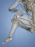 Talus Bone, 3D Model Stock Photos