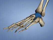 Talus Bone, modèle 3D Image libre de droits