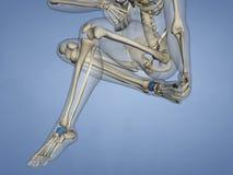 Talus Bone, modèle 3D Photographie stock libre de droits
