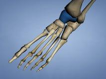Talus Bone, modèle 3D Images libres de droits
