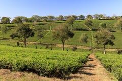 Tam Chau Tea-Plantage mit Büschen des grünen Tees in Bao Lam, Vietn stockfoto
