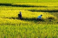 Tam Coc, Ninh Binh, Vietnam - 24 maggio 2015 - agricoltori che raccolgono riso sui campi Fotografia Stock Libera da Diritti