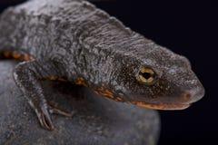 Tam Dao salamander (Paramesotriton deloustali) Royalty Free Stock Images