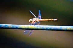 Tam jest dragonfly na gałąź zdjęcia stock