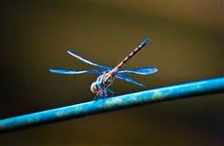 Tam jest dragonfly na gałąź obrazy royalty free