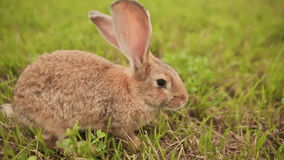 Tam konijn die op een weide lopen stock videobeelden