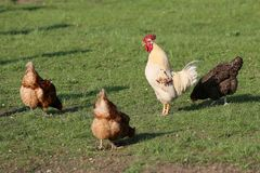 Tam musi by? kurczaki w wsi na ka?dy gospodarstwie rolnym fotografia stock