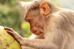 Tam wcale opuszczają colour - makak sprawdza jego koksu wnętrze - obraz stock