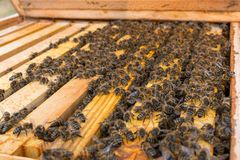 Tamaño de una colonia de la abeja en la primavera temprana Fotografía de archivo libre de regalías