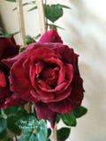 Tamaño grande en mi jardín, regalo especial de las rosas en día de San Valentín imagen de archivo