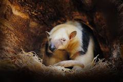 Tamandua meridional, tetradactyla de Tamandua, oso hormiguero salvaje en el h?bitat del bosque de la naturaleza, el Brasil Escena fotografía de archivo