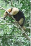 Tamandua (Miereneter) royalty-vrije stock foto's