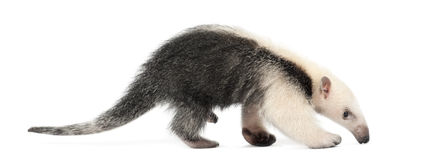 Tamandua, Tamandua tetradactyla, 3 months old Stock Photo