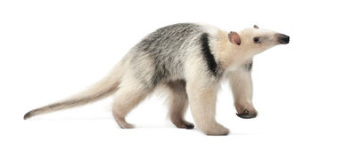 Tamandua, Tamandua tetradactyla, 3 years old Stock Images