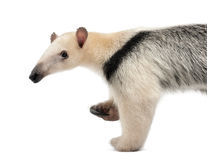 Tamandua, Tamandua tetradactyla, 3 years old Royalty Free Stock Photos