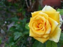 Tamanho de Rosa Foto de Stock