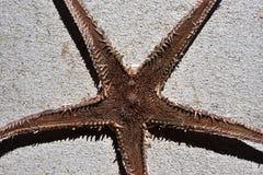 Tamanho inferior da estrela do mar secada (asteroidae) Fotos de Stock Royalty Free