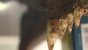 Tamanhos diferentes dos dentes da maxila inoperante do croc, Colômbia vídeos de arquivo