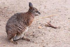 Tamar wallaby zdjęcia stock