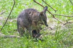 Tamar wallaby Royalty Free Stock Image